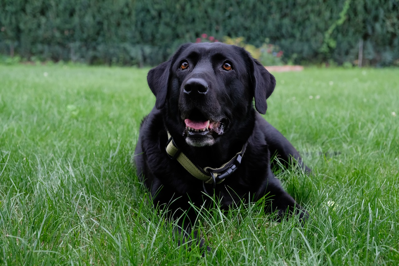 dog, labrador, black