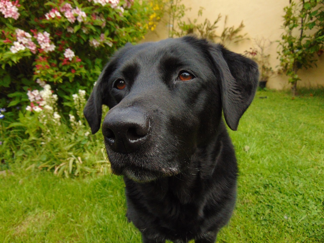 labrador, retriever, lab