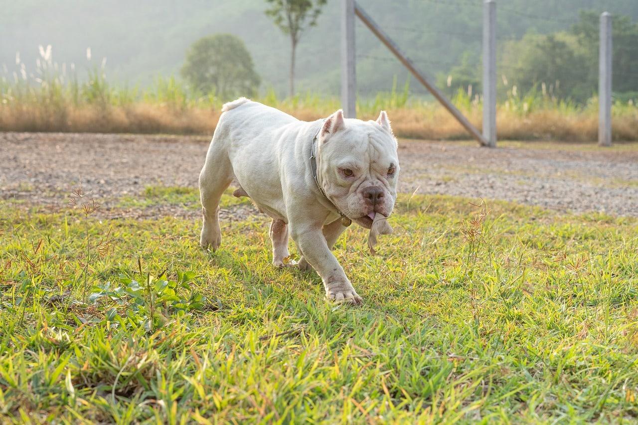 pitbull, dog, puppy